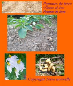 Culture des pommes de terre