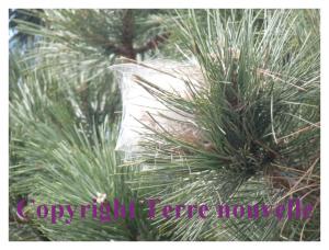 nid de chenilles processionnaires sur un pin