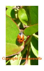 coccinelle Jardin et Potager : insectes et animaux utiles