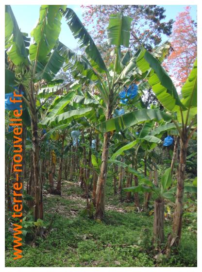 Culture de la banane au Costa Rica : on voit les régimes de bananes mis en sac plastique avant la récolte