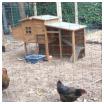 nos poules cinq mois apres Survivalisme familial : nos poules cinq mois après