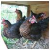 poule chez terre nouvelle Survivalisme familial : nos quatre premières poules pondeuses