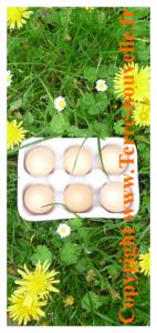 Survivalisme et poule pondeuse : empêcher les poules de s'envoler au-dessus de la cloture, rentabilité des poules pondeuses