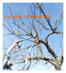 Tailler les arbres fruitiers en automne