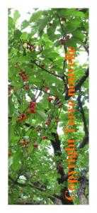 Traiter les arbres contre les vers : vers dans les fruits